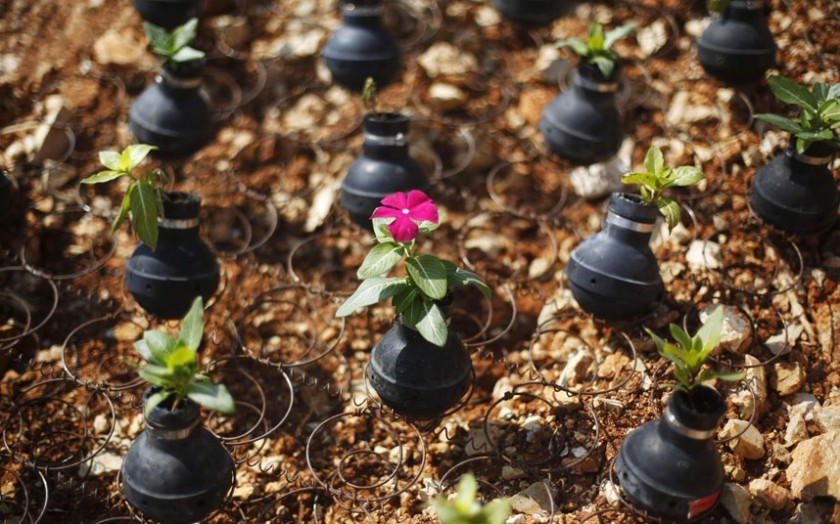 Flowers planted in teargas canisters, near Ramallah in Palestine