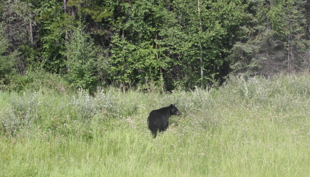 A black bear, spotted near Prophet River, B.C. Photo by Andrew Mackay