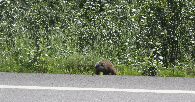 A beaver on Hwy 77, northern British Columbia. Photo by Steven Mackay