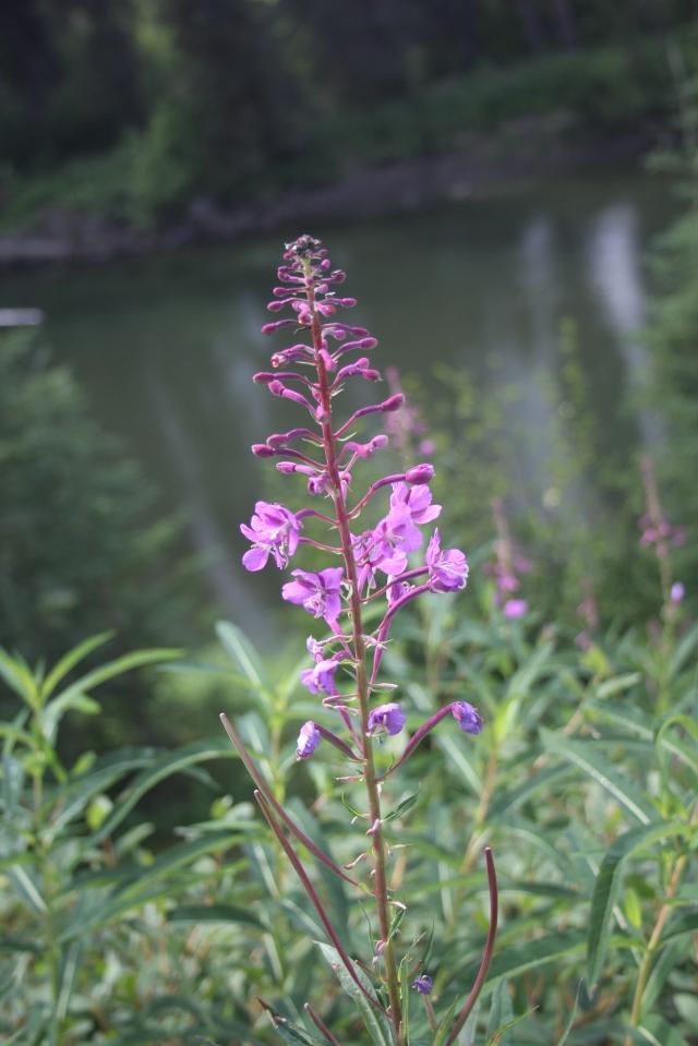 Fireweed (Chamerion angustifolium) near Boya Lake, British Columbia.
