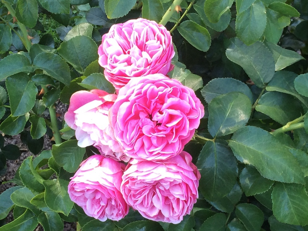 From the Portland Rose Garden, OR. Photograph by Andrew Mackay