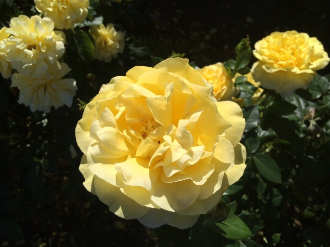 From the Portland Rose Garden, OR. Photo by Andrew Mackay