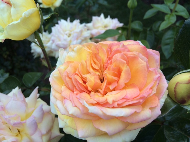 From the Portland Rose Garden, OR. Picture taken by Andrew Mackay