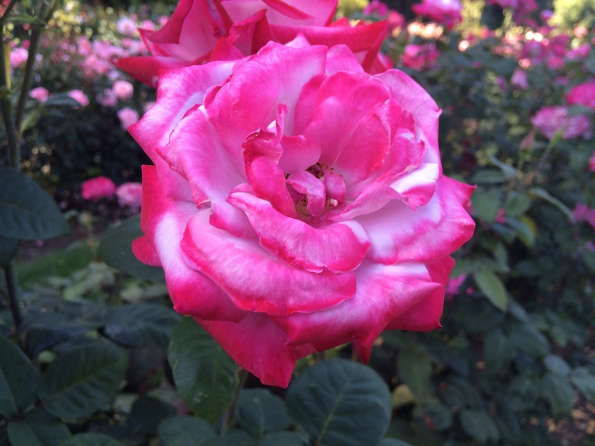 From the Portland Rose Garden, OR. Taken by Andrew Mackay